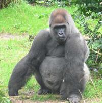 473pxmale_silverback_gorilla_2